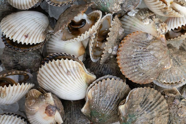 scalloping in tampa bay