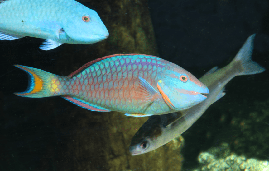 Florida Aquarium Parrotfish